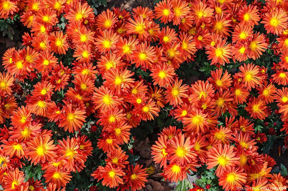 Бал хризантем в Никитском ботаническом саду
