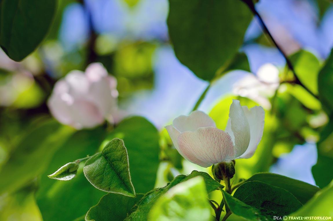 Цветущая айва: фото