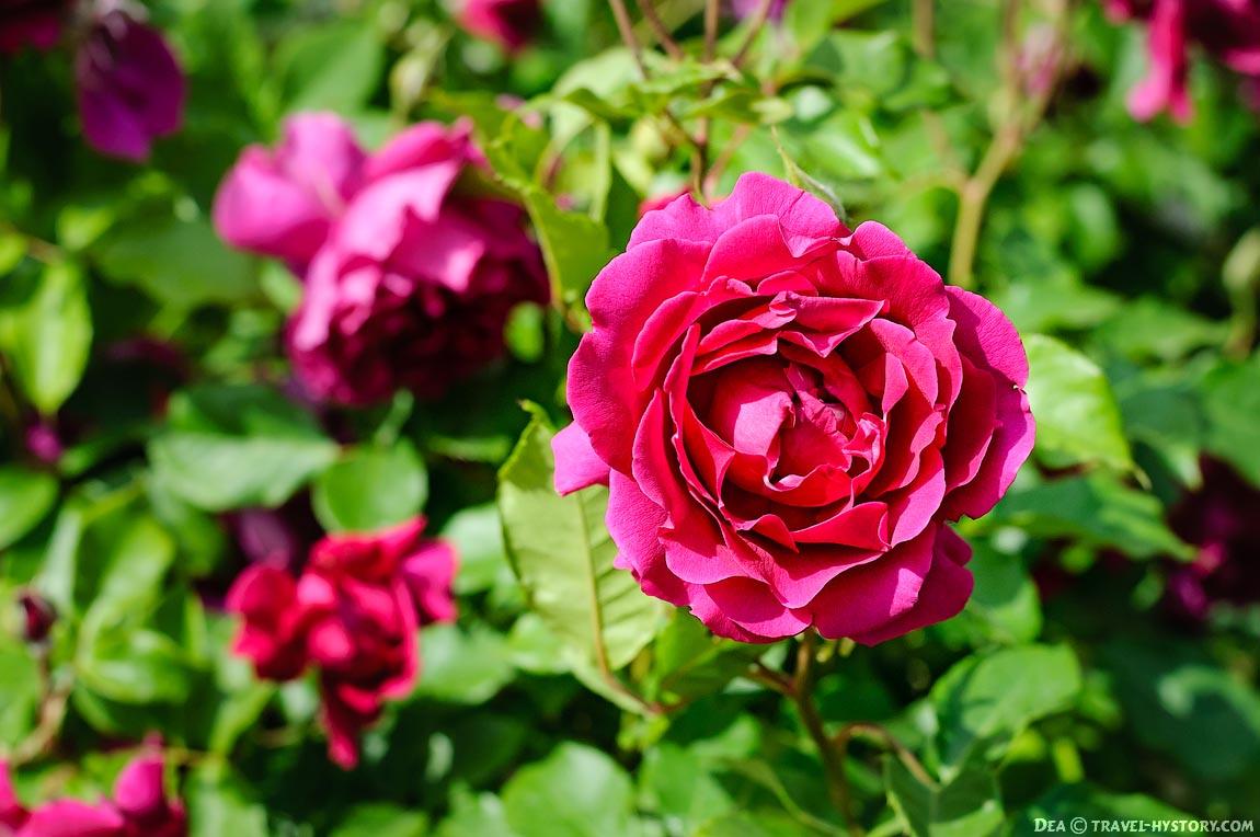 Розы: фото