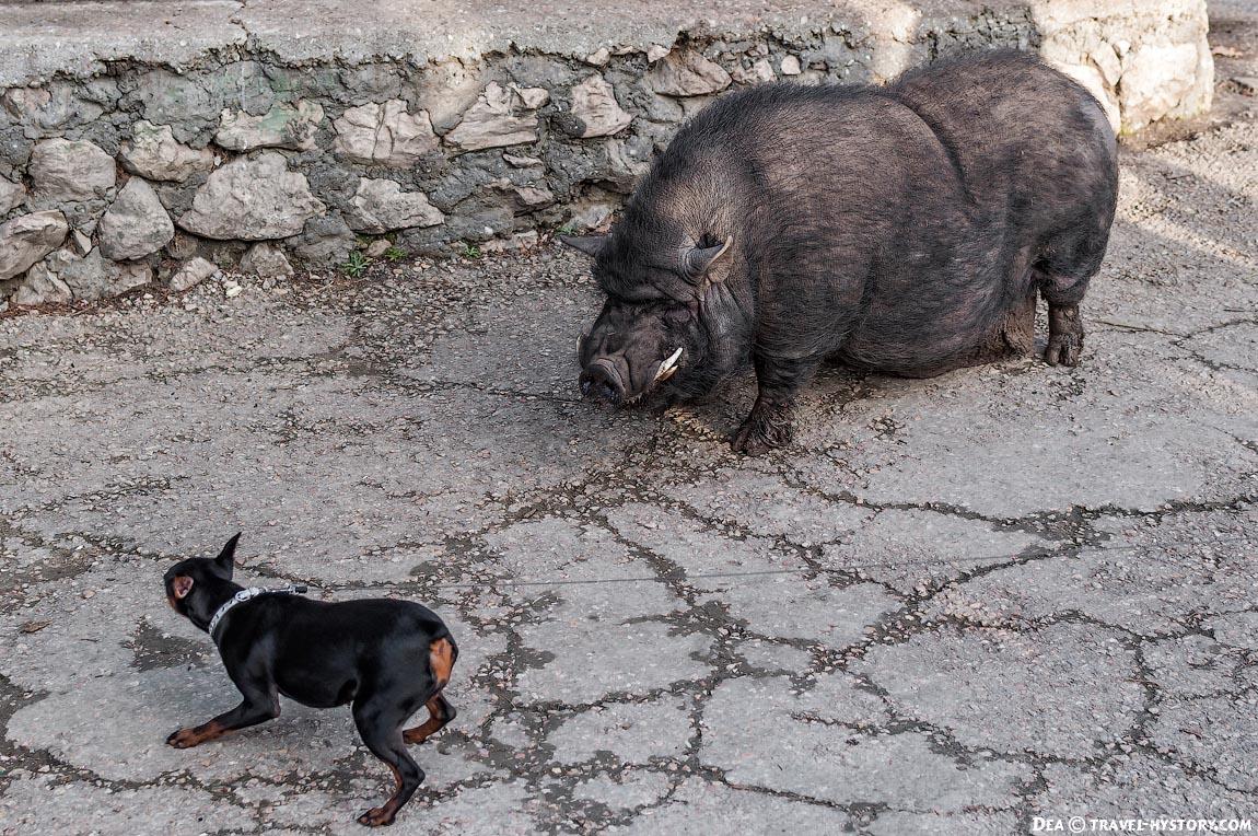 Вьетнамская свинья и собака