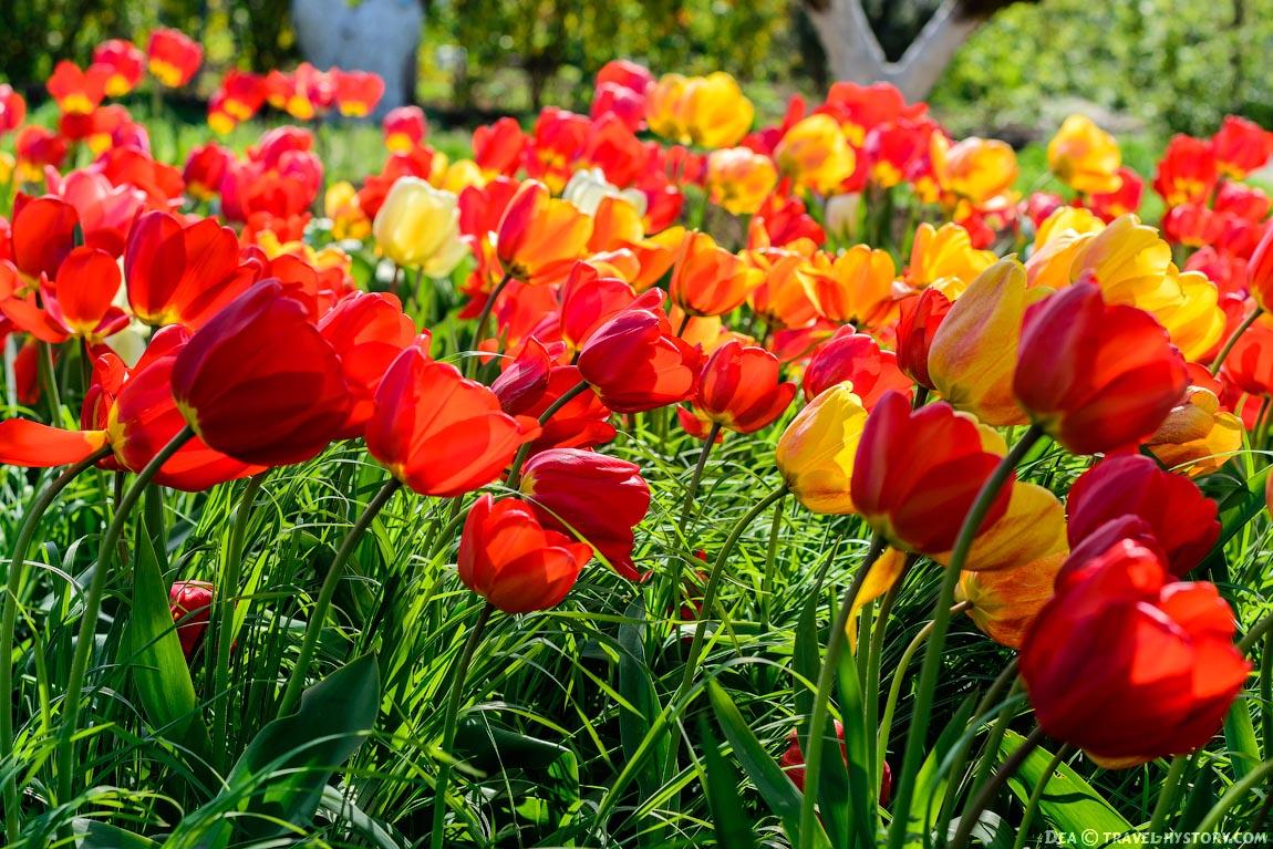 Тюльпаны в Севастополе